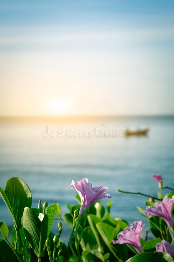 Pink floweripomoea pes-caprae in morning time with blur fishe. Rman and fishing boat background stock images