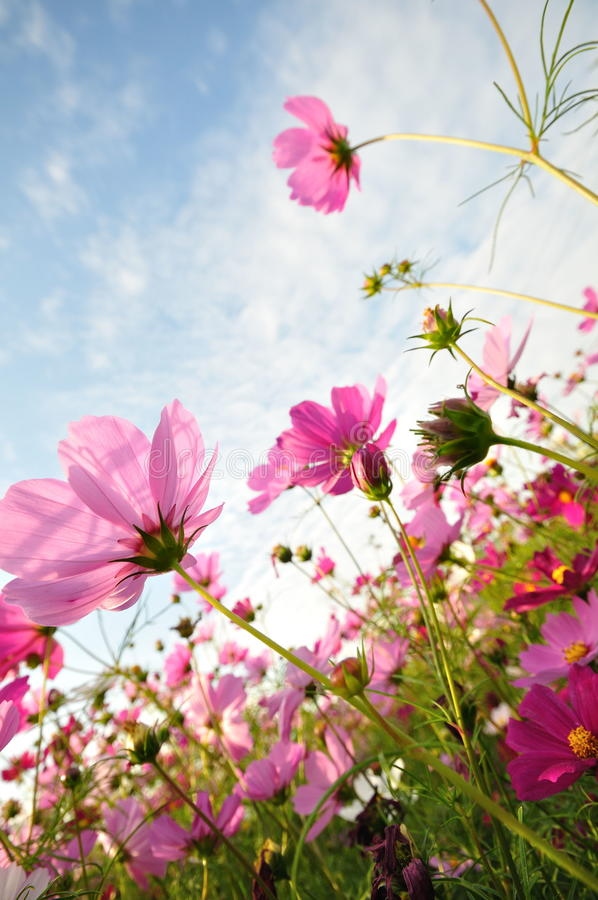 Free Pink Flowers Stock Photography - 17438762