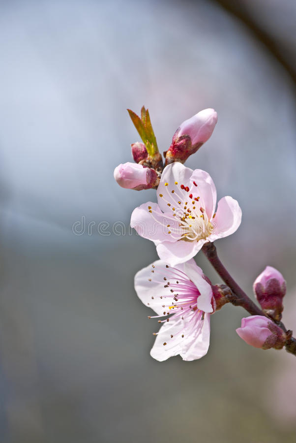 Free Pink Flowers Stock Photography - 19856212