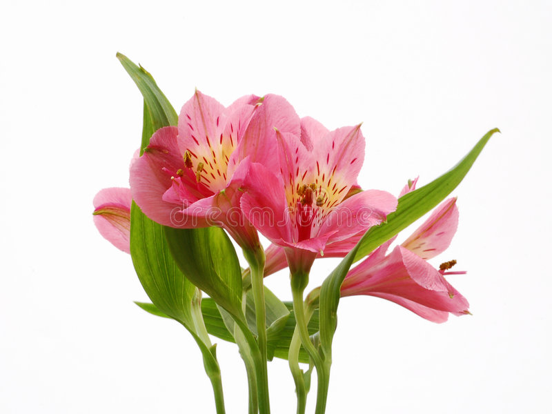 Download Pink Flowers stock photo. Image of grow, beauty, close - 4965938