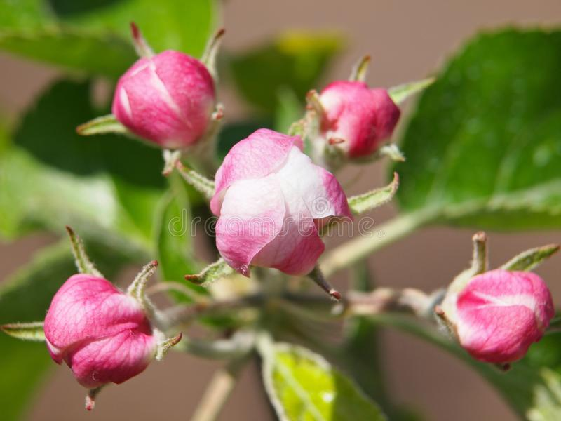 Pink flowers of apple. With green leaves in spring stock photography