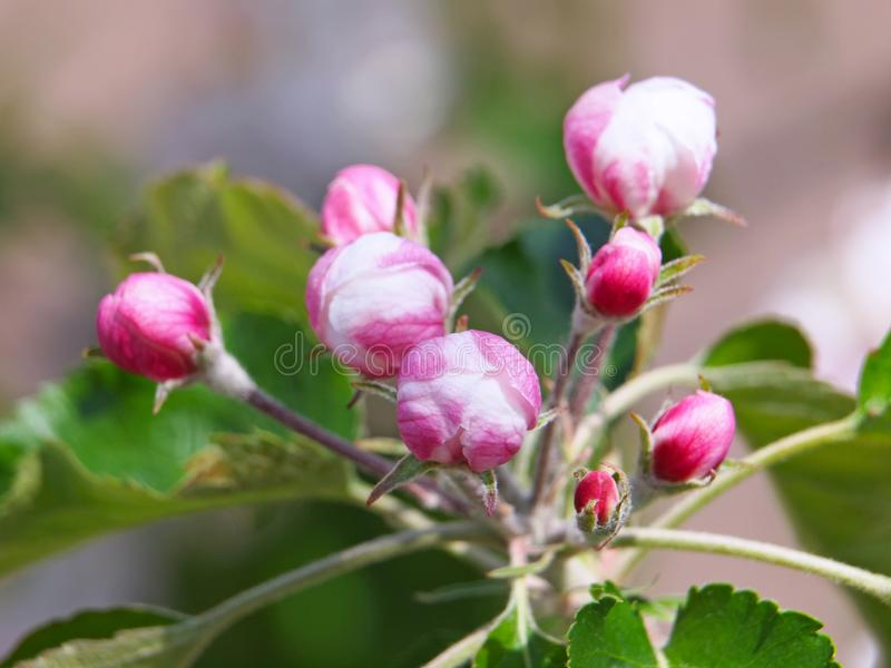 Pink flowers of apple. With green leaves in spring royalty free stock images