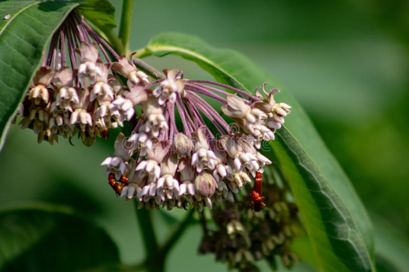 Pink flowers of Asclepias syriaca, commonly called common milk weed, butterfly flower, silk weed, silky swallow-wort. Important wild flower, milkweed is vital royalty free stock image