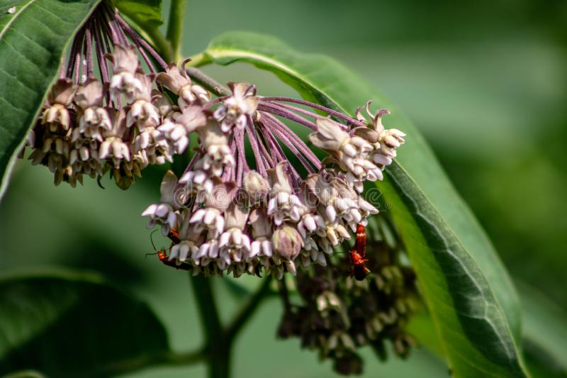 Pink flowers of Asclepias syriaca, commonly called common milk weed, butterfly flower, silk weed, silky swallow-wort. Important wild flower, milkweed is vital royalty free stock images