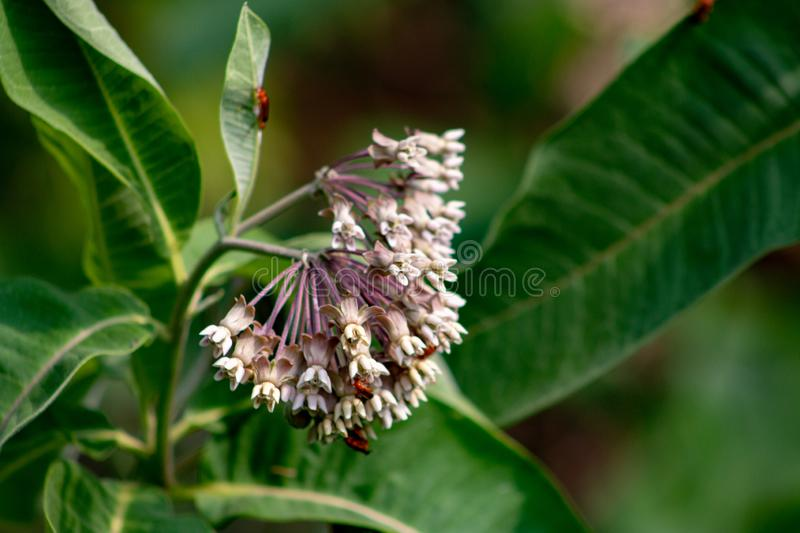 Pink flowers of Asclepias syriaca, commonly called common milk weed, butterfly flower, silk weed, silky swallow-wort. Important wild flower, milkweed is vital stock photos