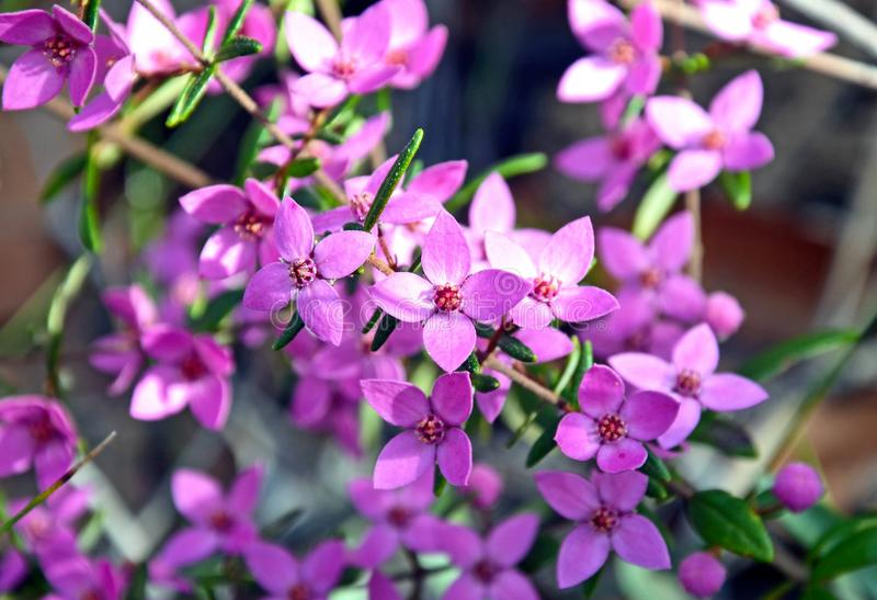 Pink flowers of Australian native Boronia. Growing in Eucalyptus woodland, Royal National Park, Sydney, Australia royalty free stock photography