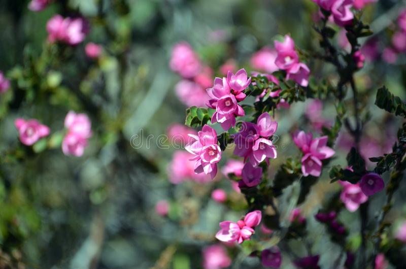 Pink flowers of the Australian Native Rose, Boronia serrulata. Family Rutaceae, Royal National Park, Sydney, NSW, Australia. Spring flowering. Copy space for royalty free stock photo