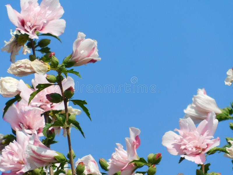 Pink flowers in a beautiful blue sky: this is spring!. Detail of large pink flowers that stand out against a beautiful blue sky on a spring morning stock images