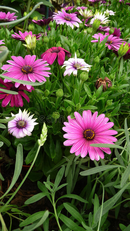Download Pink Flowers In Bloom Stock Images - Image: 18647124