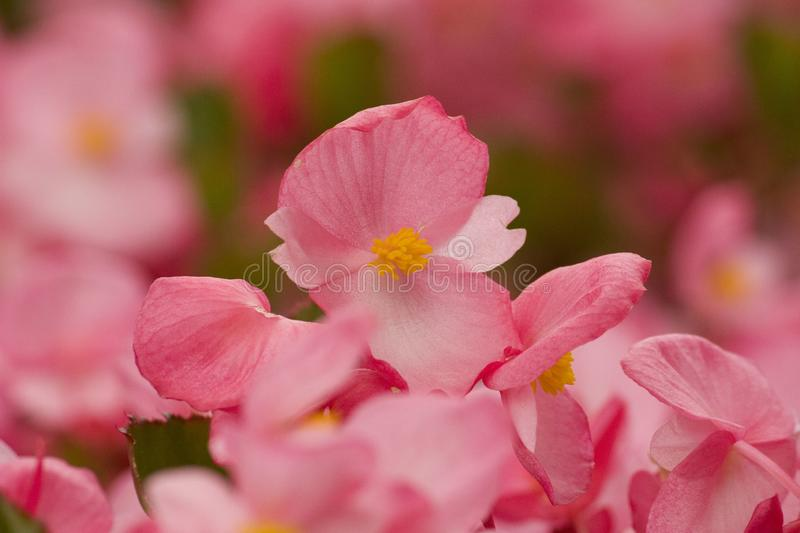 Romantic pink flowers, summer crabapple flowers royalty free stock photo