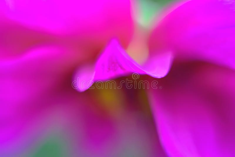 Pink flowers blooming beans. Pink dahlia . Photo blurry stock photography