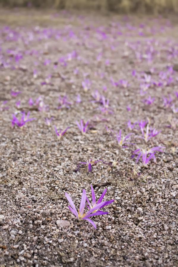 Pink flowers blooming from the ground stock image