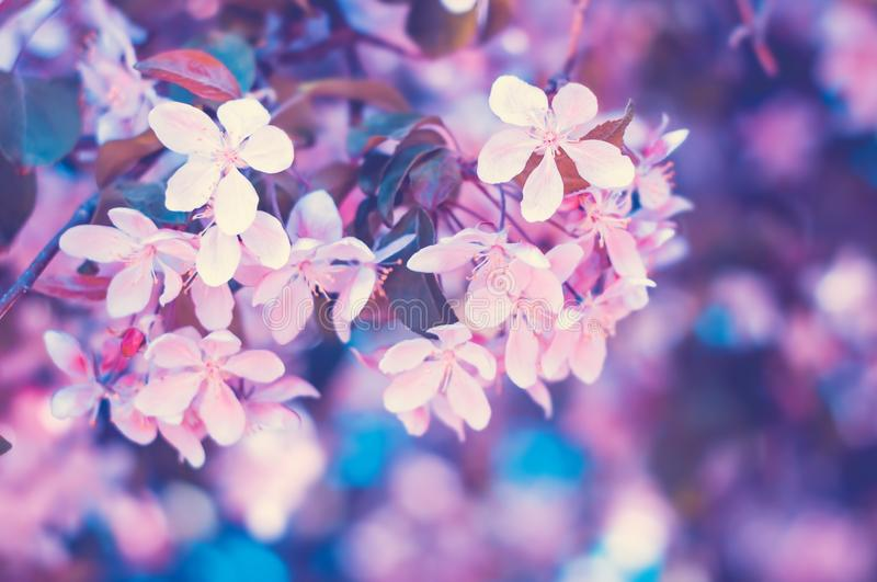 Pink flowers blossom in spring. Nature floral beautiful background stock photography