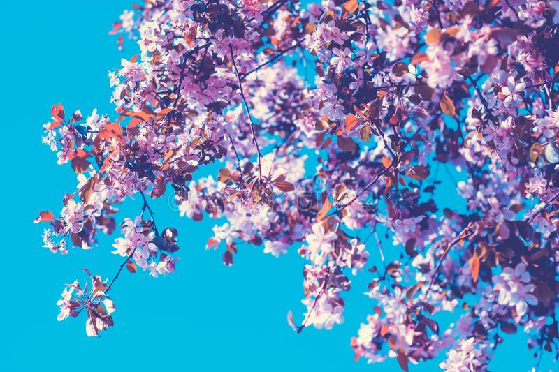 Pink flowers blossom in spring over blue sky. Nature floral beautiful background royalty free stock photography