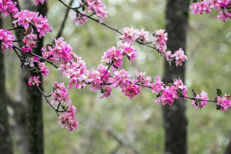 Pink blossom flowers and trees royalty free stock photo