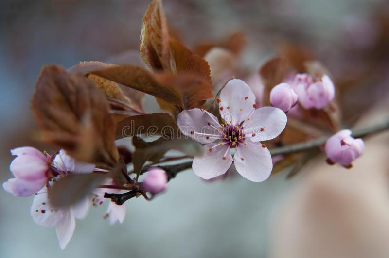 Pink  flowers of a blossoming tree. Beautiful macro photo. Cherry blossom. Pink flowers of a blossoming tree. Beautiful macro photo. Cherry royalty free stock images