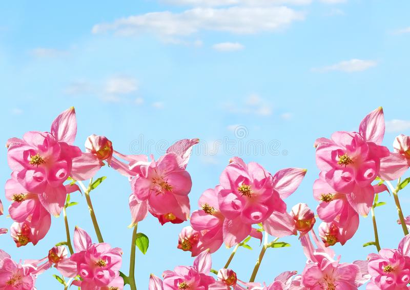 Pink Aquilegia flowers at the blue sky background royalty free stock image
