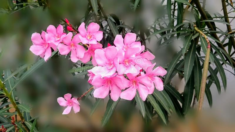 Pink flowers on a blurred background royalty free stock photography