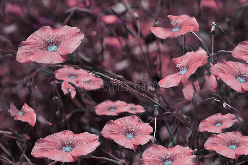 Pink flowers on blurry background. Floral background. Pink wildflowers in the grass. stock image