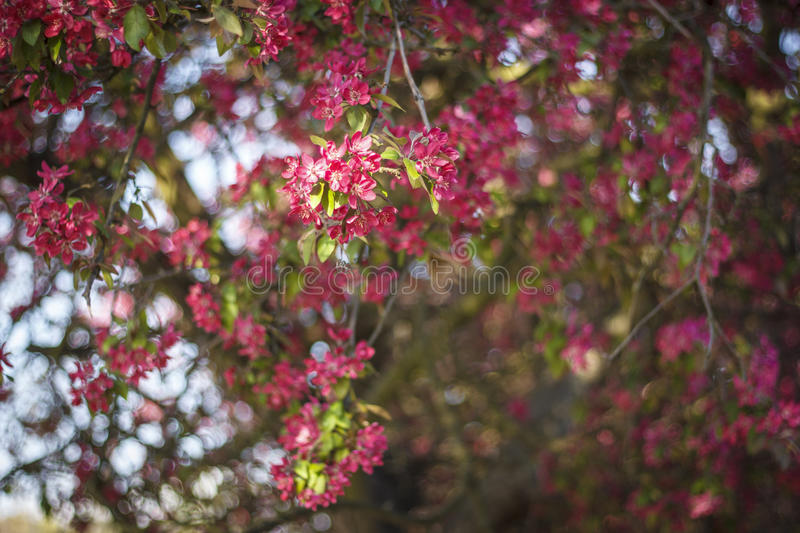 Pink  flowers  bokeh background stock photography