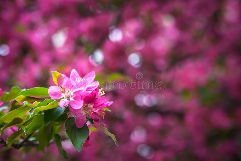 Pink flowers bokeh horizontal background. Pink flowers with pink bokeh abstract light background horizontal royalty free stock images