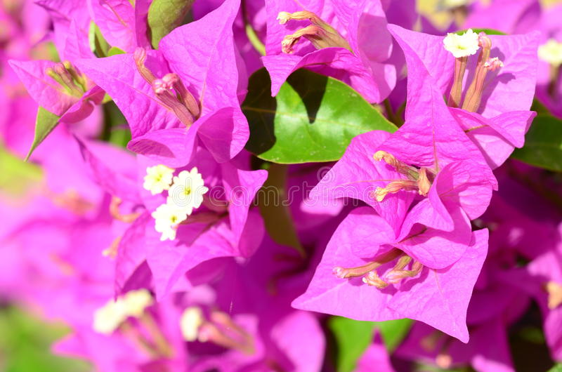 Download Pink Flowers (bougainvillea) Stock Photo - Image: 26811194