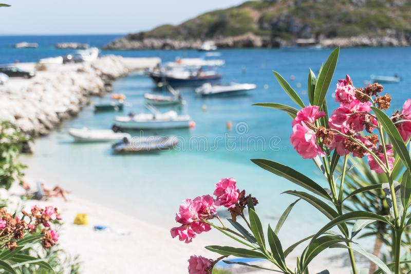 Pink flowers oleander  on a background of blue sea stock image