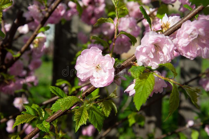 Pink flowers on the branche stock photos