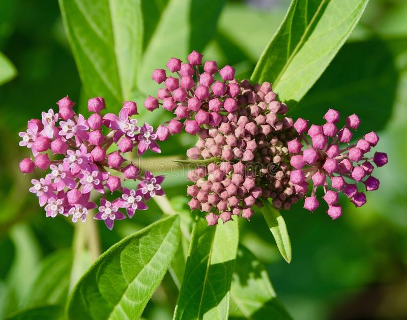 Pink flowers and buds of common milkweed plant. Pink flowers and buds of a common milkweed plant Asclepias syriaca in a Pennsylvania meadow. Also known as stock images