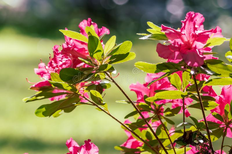 pink flowers on a bush stock images