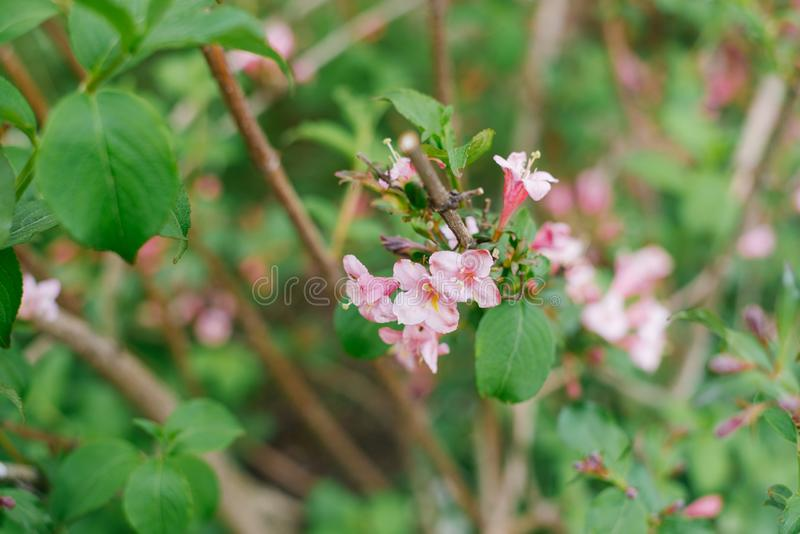 Pink flowers Bush weigela on the branches. In the spring royalty free stock photo