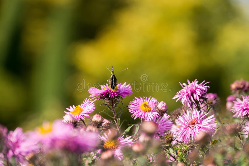 Pink Flowers with Butterfly royalty free stock images