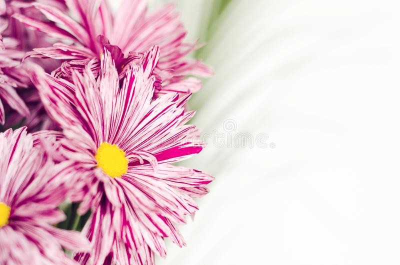 Pink flowers of chrysanthemum in a bouquet with green leaves close-up on a white background. Copy space. royalty free stock photos