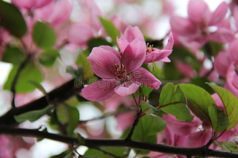 Pink flowering branch in spring royalty free stock photos
