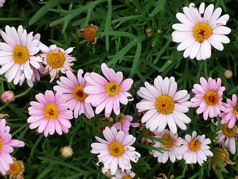 Pink_flowers stock image
