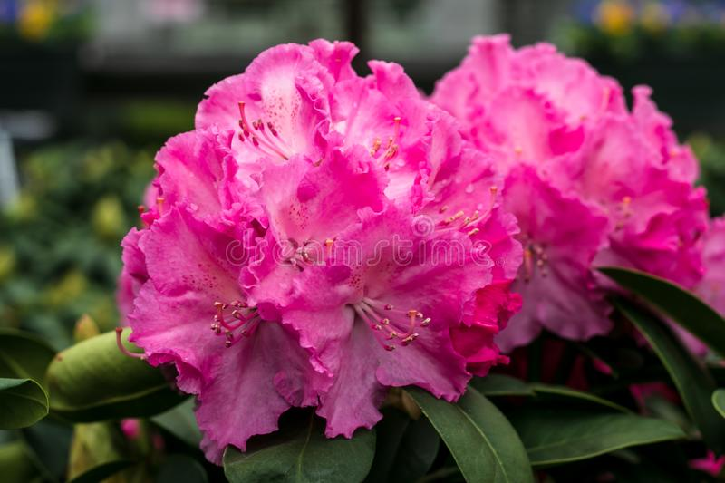 Pink flowers close-up. Rhododendron bush. Blooming Alpine Rose. Potted garden. Hot pink flower. Floral pattern, background. Flower stock photography