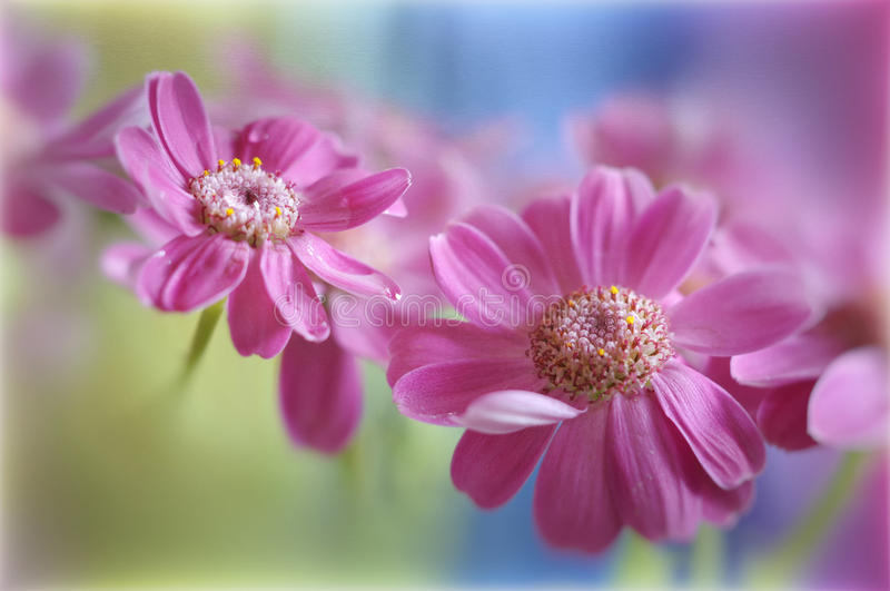 Pink flowers. Close-up shot of a beautiful flowers stock image