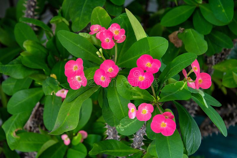 Pink flowers on crown of thorns stock image