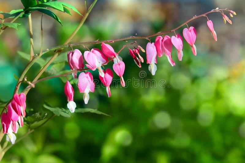 Pink flowers of Dicentra stock photography