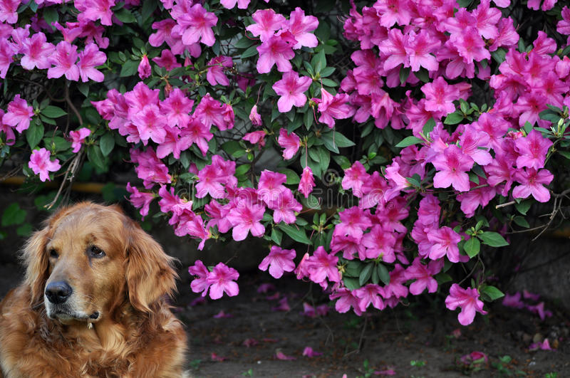 Pink flowers and Dog. royalty free stock photos