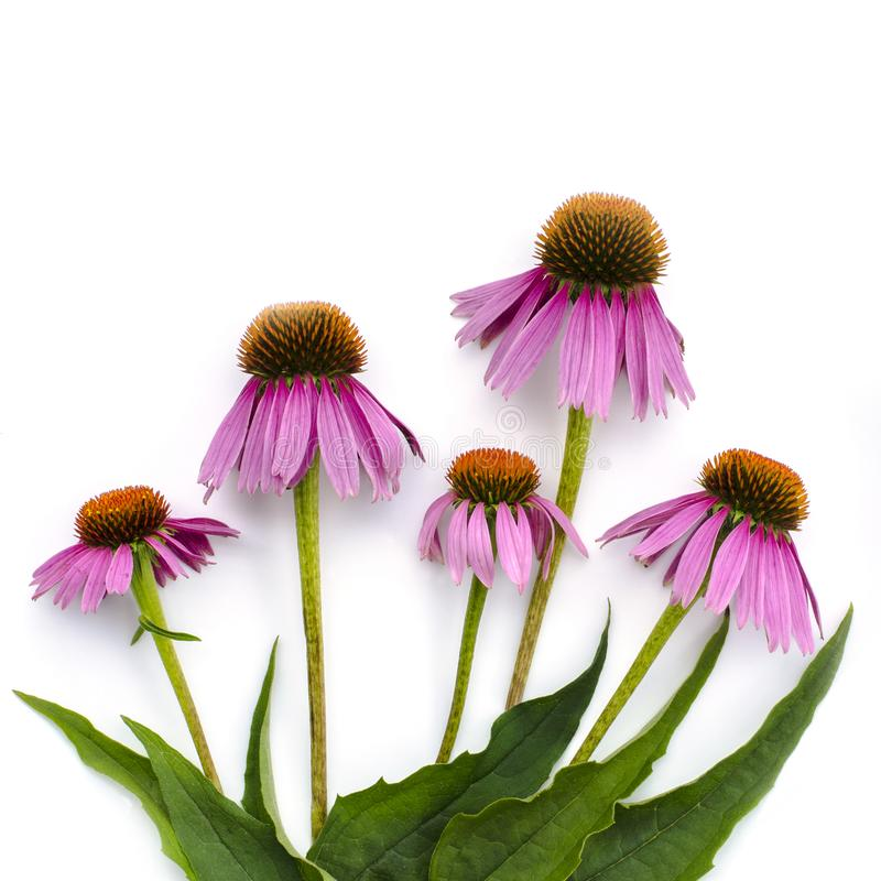Pink flowers of Echinacea purpurea on a white background. View from above royalty free stock image