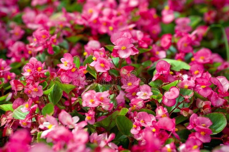 Pink flowers of everblooming begonia in flowerbed, pink begonia semperflorens growing royalty free stock photography