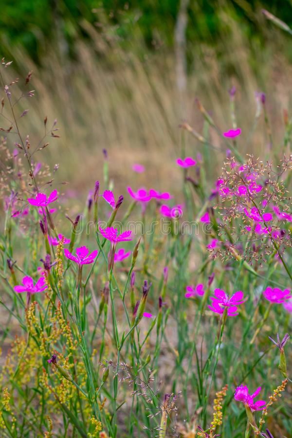 Pink flowers on the field. Dianthus campestris royalty free stock photo