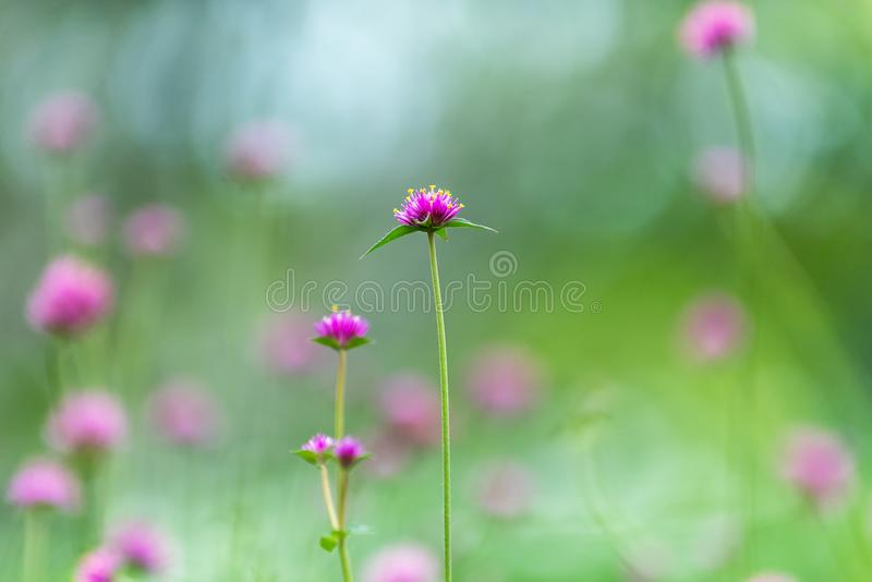 Pink flowers field and green leaves in the garden, stock images