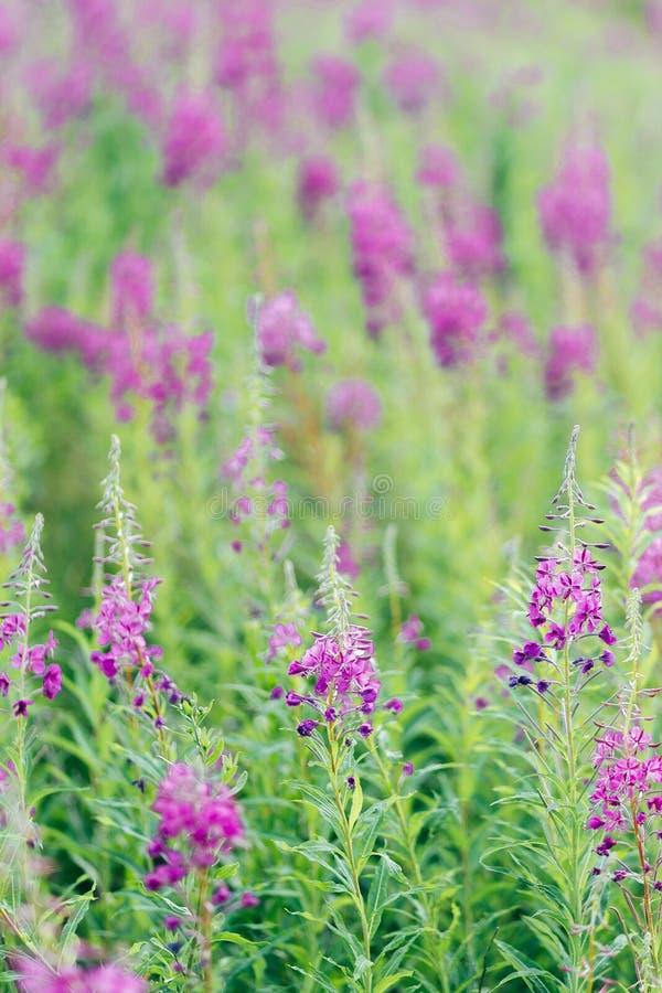 Bloom ivan tea. Pink flowers of fireweed bloom ivan tea royalty free stock image