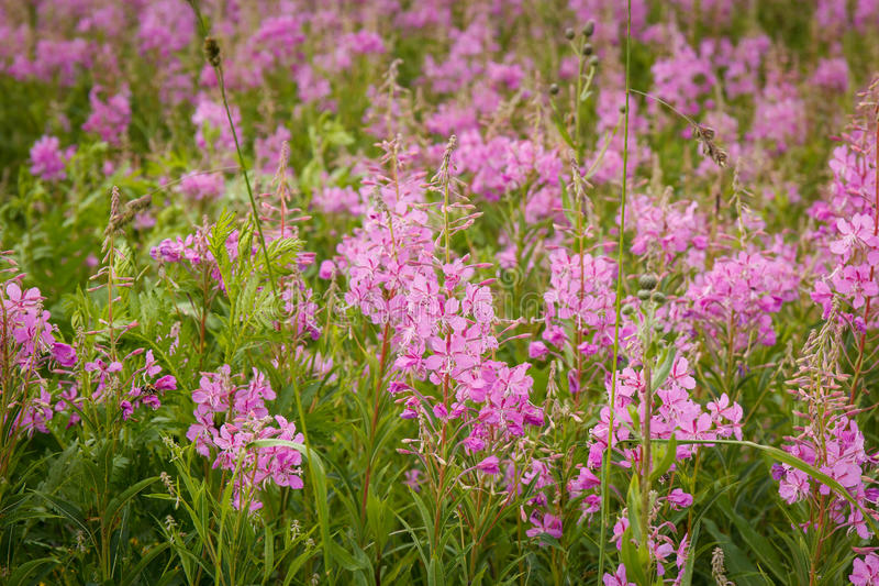 Pink flowers of fireweed in bloom ivan tea. Flowering willow-herb or blooming sally stock photography