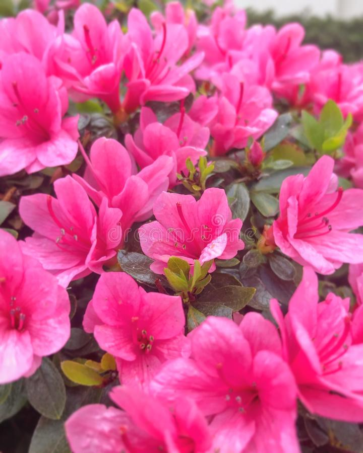 Pink flowers stock photography