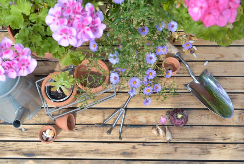Pink flowers and flower pots with gardening tools  on wooden background stock image
