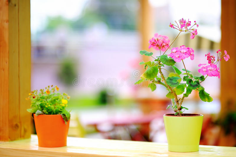 Pink flowers in flowerpot royalty free stock photography