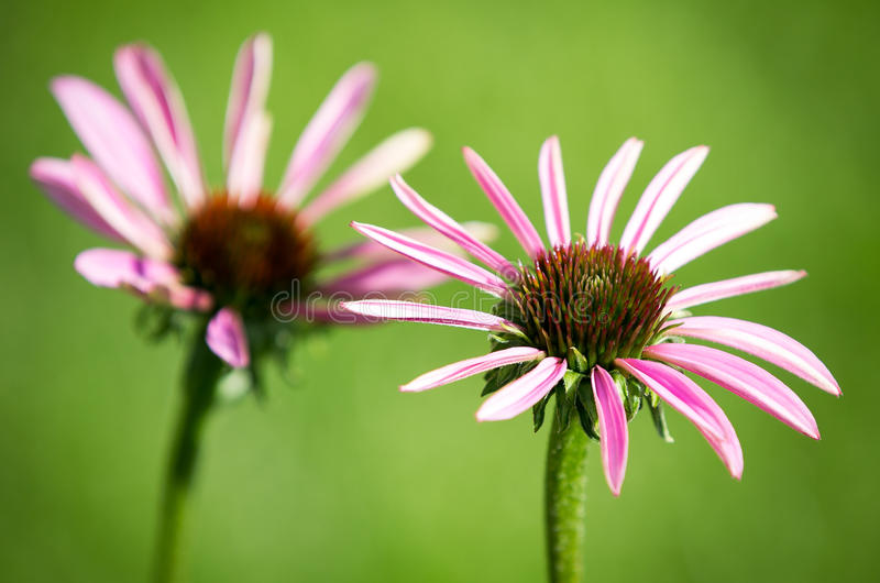 Pink flowers in the garden stock photography